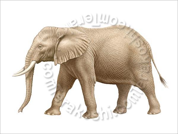 アフリカゾウの画像 p1_31