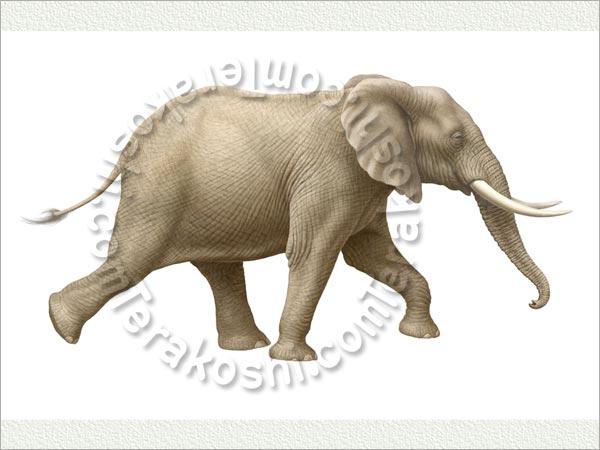 アフリカゾウの画像 p1_9