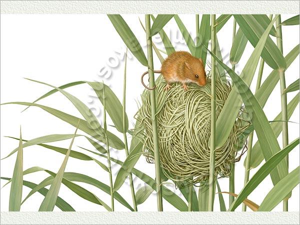 葦の中の巣とカヤネズミ 葦の中の巣とカヤネズミ    葦の中の巣とカヤネズミ