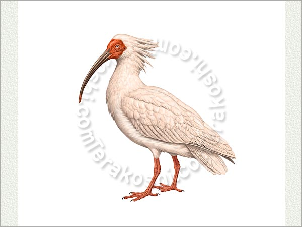 Japanese Crested Ibis